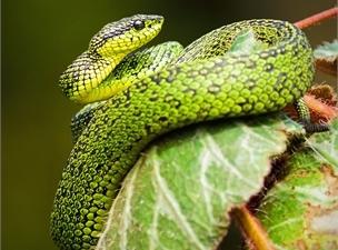 kígyók paraziták egy álomban